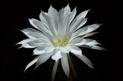 """Echinopsis subdenudata"" - Julián Romero Morales"